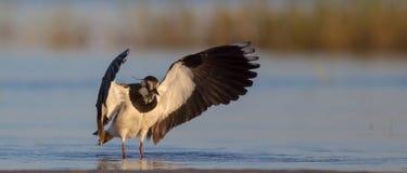 Vanellus vanellus / Northern Lapwing / Kiebitz stock images
