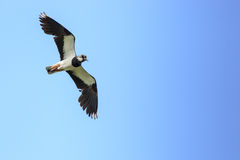 Vanellus vanellus, Lapwing. Stock Photos