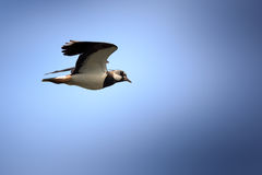 Vanellus vanellus, Lapwing. Royalty Free Stock Photos