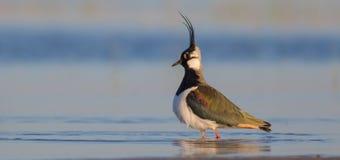 Vanellus vanellus / Northern Lapwing / Kiebitz royalty free stock photos