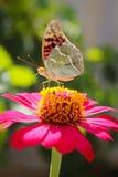 Vanessa在花百日菊属的cardui蝴蝶 库存图片