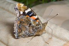 vanessa бабочки 9 admiral indica Стоковое Изображение
