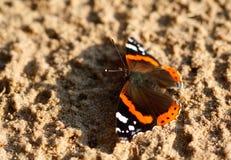 vanessa красного цвета бабочки atalanta admiral Стоковые Фото