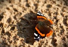 vanessa красного цвета бабочки atalanta admiral Стоковая Фотография RF