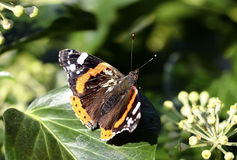 Vanessa Atalanta/πεταλούδα ναυάρχων Στοκ Φωτογραφία