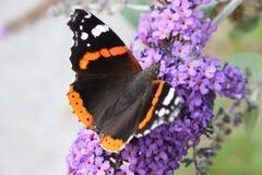 Vanessa atalanta Zdjęcie Royalty Free