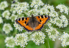 Vanessa atalanta Admiral butterly sitting on flower blossom Stock Photography