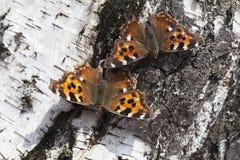 Vanessa atalanta butterfly Stock Photos