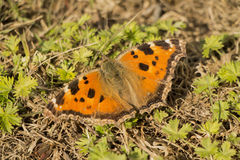 Vanessa atalanta butterfly on the ground Royalty Free Stock Photography