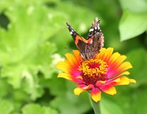 Vanessa Atalanta Butterfly on Orange and Pink Zinnia Flower. Beautiful Vanessa Atalanta ( Red Admiral) Butterfly on Orange and Pink Zinnia Flower with green leaf royalty free stock images