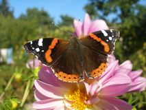 Red admiral butterfly. Vanessa Atalanta butterfly on pink Dahlia Royalty Free Stock Images