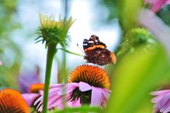Butterfly Red Admiral among flowers. Vanessa Atalanta feeding on pink coneflower, Echinacea Purpurea Royalty Free Stock Image