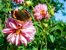 Vanessa Atalanta on pink Dahlia. Red Admiral butterfly on rosy Dahlia flower in sunny summer day Stock Photo