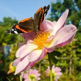 Vanessa Atalanta on pink Lily. Red Admiral butterfly on rosy Lily. Photo in square format 1:1 Stock Photography