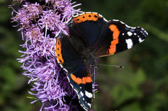 Vanessa atalanta, red admiral Royalty Free Stock Images