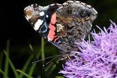 Vanessa atalanta, red admiral Royalty Free Stock Photos