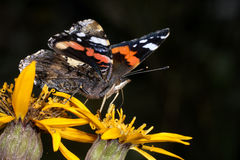 Vanessa atalanta, red admiral Stock Photography