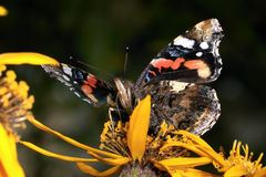 Vanessa atalanta, red admiral Stock Images
