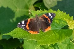 Vanessa atalanta , Red Admiral Butterfly on a green leaf.  Stock Photography