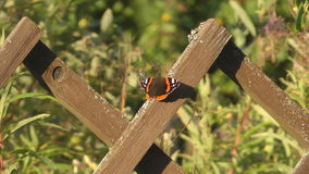 Vanessa atalanta. Red Admiral Butterfly on a wooden fence stock video footage