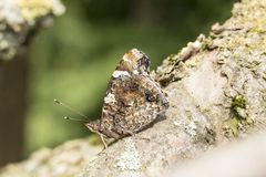 Vanessa atalanta, Red Admiral on a tree in Germany Stock Images