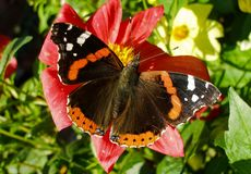 Vanessa Atalanta on Red Lily. Red Admiral butterfly on red Lily in summer day Royalty Free Stock Image