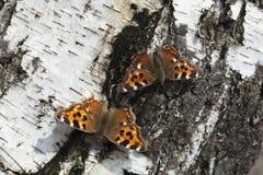 Vanessa Atalanta-Schmetterling Lizenzfreie Stockfotografie