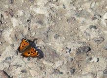 Vanessa Atalanta-Schmetterling Stockfotos