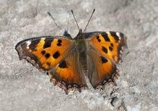 Vanessa Atalanta-Schmetterling Lizenzfreie Stockfotos