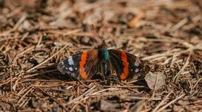 Vanessa-atalanta Schmetterling des roten Admirals landete auf belaubtem Boden Stockbild