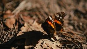Vanessa-atalanta Schmetterling des roten Admirals landete auf belaubtem Boden Stockfotografie