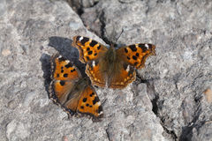 Vanessa-atalanta Schmetterlinge Lizenzfreie Stockfotografie
