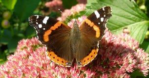 Vanessa Atalanta on tiny rosy flowers. Red Admiral butterfly on tiny rosy flowers. Photo in Facebook format Stock Image