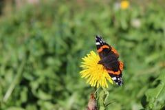 Vanessa Atalanta-vlinder Royalty-vrije Stock Fotografie
