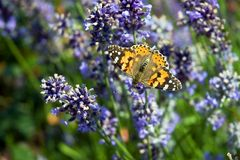 Vanessa butterfly. Vanessa cardui butterfly sitting on a french lavender flower Stock Photography