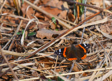 Vanessa butterfly stops on the lawn. Dry in winter Royalty Free Stock Photography