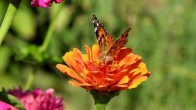 Vanessa cardui或被绘的夫人蝴蝶在百日菊属