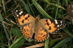 vanessa cardui бабочки стоковое фото rf