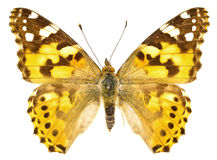 Vanessa cardui Royalty Free Stock Photography