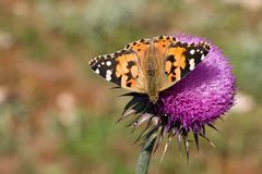 Vanessa Cardui Royalty Free Stock Images