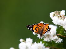 Vanessa Cardui butterfly Stock Image