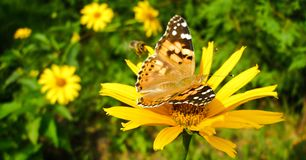 Painted Lady on Orange Coneflower. Vanessa Cardui butterfly called Cosmopolitan on Rudbeckia Fulgida flower. Photo in Facebook advertisement format Stock Photos