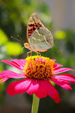 Vanessa cardui butterfly on the flower zinnia Stock Image