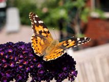 Vanessa cardui butterfly Royalty Free Stock Images