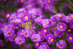 Vanessa cardui butterfly and purple flowers. Vanessa cardui butterfly on purple flowers Royalty Free Stock Photo