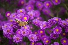 Vanessa cardui butterfly on purple flowers. Vanessa cardui butterfly and purple flowers Stock Images