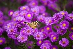 Vanessa cardui butterfly on purple flowers. Vanessa cardui butterfly and purple flowers Royalty Free Stock Image