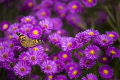 Vanessa cardui butterfly on purple flowers Royalty Free Stock Photography