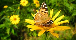Painted Lady on Periannial Coneflower. Vanessa Cardui butterfly on Rudbeckia Fulgida flower in sunny summee day. Photo in facebook advertisement format Royalty Free Stock Photos