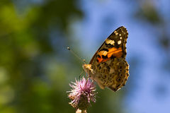 Vanessa cardui. A butterfly sitting on a flower Stock Photography